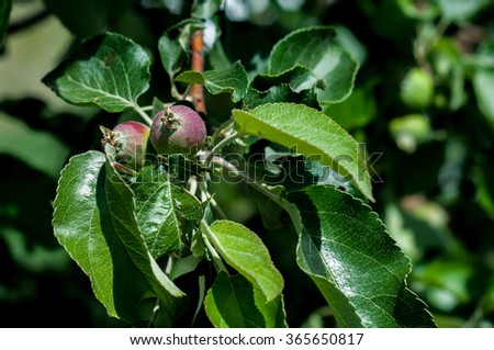 Juicy colorful apples on the tree - stock photo