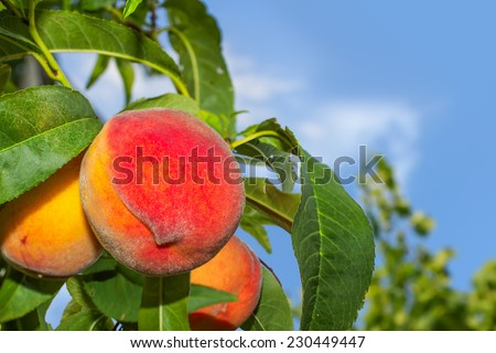 Juicy organic peaches on a tree  - stock photo