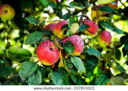 Juicy ripe apples on the tree. fruit harvest - stock photo