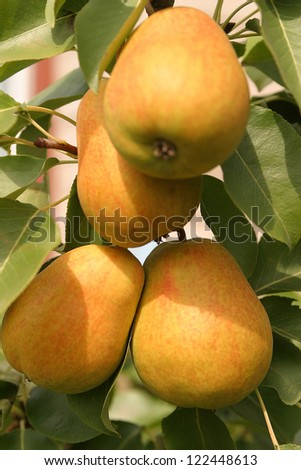 juicy, ripe pears weigh on green branch - stock photo