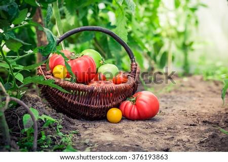 Juicy tomatoes on ground - stock photo