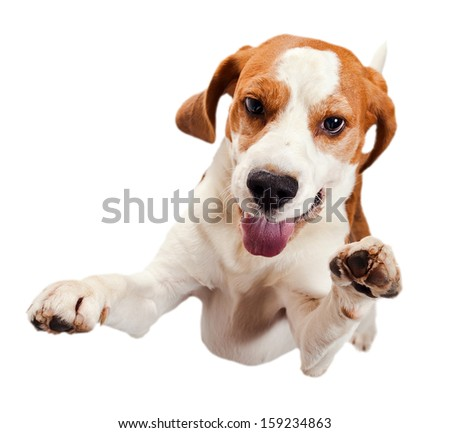 jumping beagle isolated on a white background - stock photo