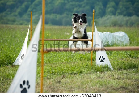 jumping border collie on agility course - stock photo