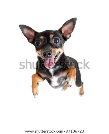 jumping flying toy terrier dog or top view - stock photo