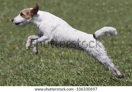 Jumping Jack Russel Terrier - stock photo