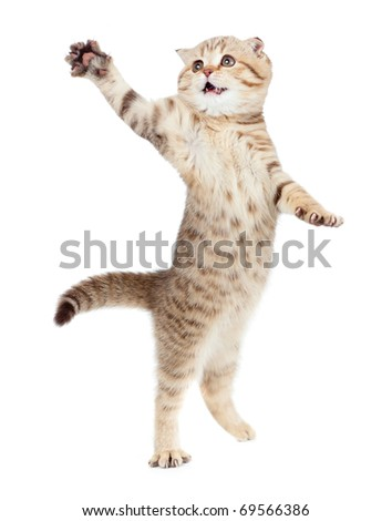 jumping kitten or cat  striped Scottish fold isolated studio shot - stock photo