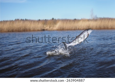 jumping out from water salmon  on river background - stock photo