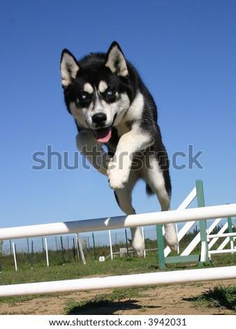 jumping purebred siberian husky - stock photo