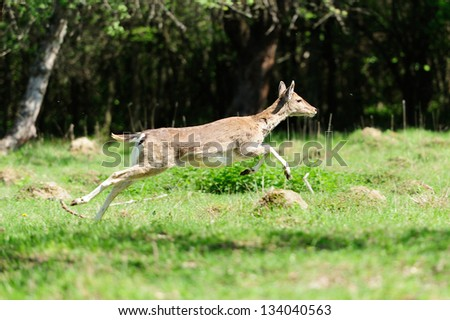 Jumping roe deer on a meadow - stock photo