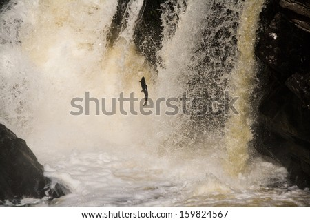 Jumping salmon, Scotland - stock photo