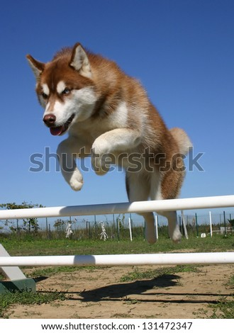 jumping siberian husky in a training of agility - stock photo