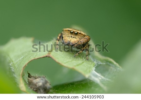 Jumping Spider - stock photo