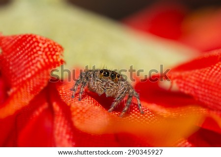 Jumping spider captured among red flowers - stock photo