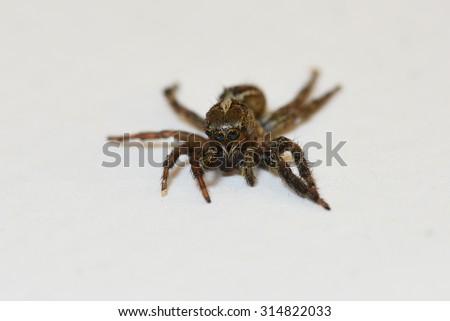 Jumping spider Evarcha arcuata macro isolated on white background.  - stock photo