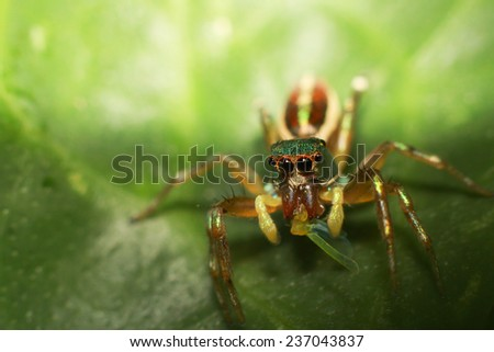 Jumping Spider is eating insect on green leaf - stock photo