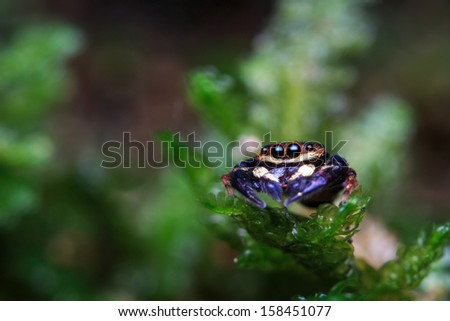 Jumping Spider on the moss throne - stock photo