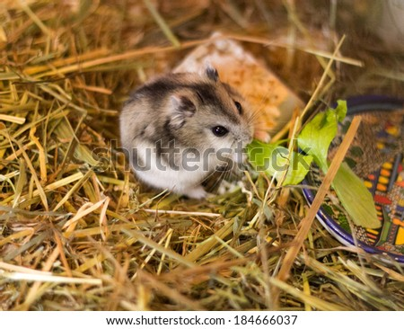 Junggar hamster eating salad on the hay - stock photo