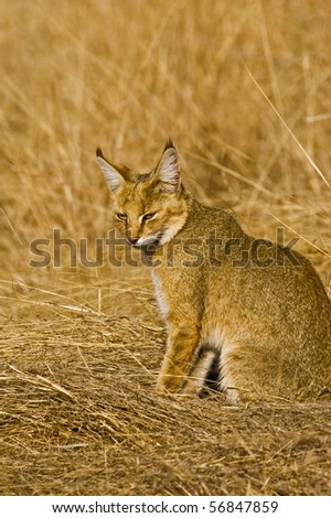 Jungle cat in the grasses  in Ranthambore national park - stock photo