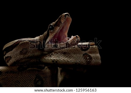 Jungle Columbian red-tailed boa (Boa constrictor constrictor) isolated on black background. - stock photo