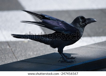 jungle crow or Japanese crow - stock photo