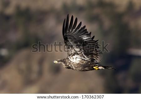 Junior eagle. - stock photo