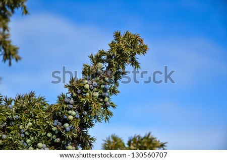 Juniper berries on a twig with a background of blue sky - stock photo