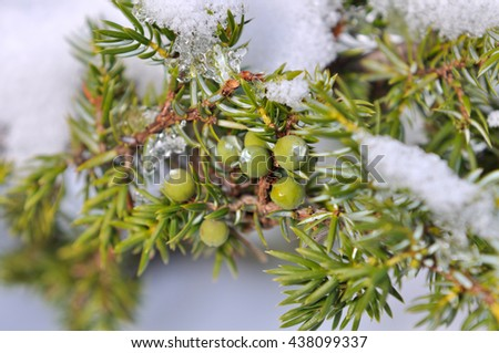 juniper berries under snow  - stock photo