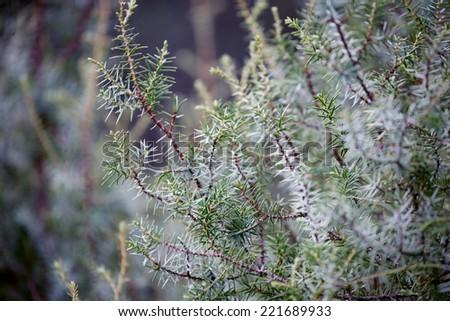 Juniper during autumn - stock photo