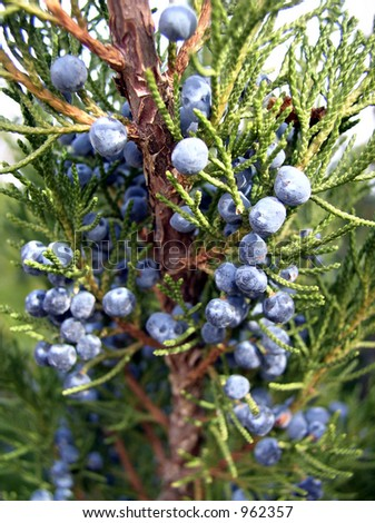 juniper shrub with berries - stock photo