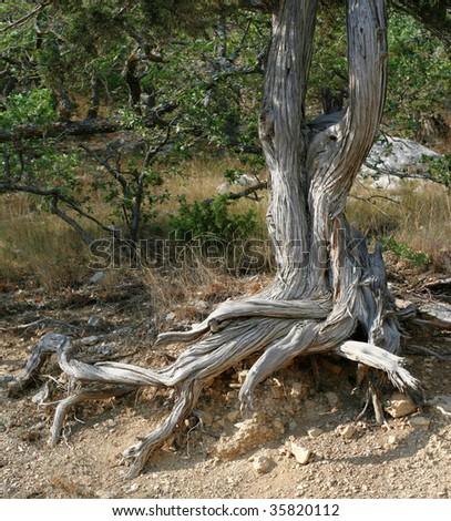 Juniper tree growing on rocks of Crimea, Ukraine - stock photo