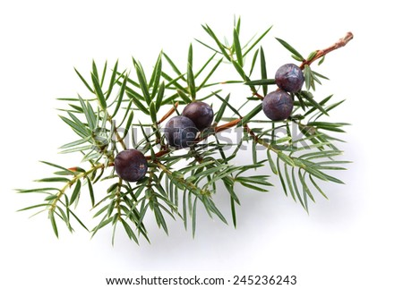 Juniper twig with berry - stock photo