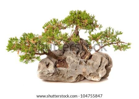 Juniperus chinensis bonsai isolated on white - stock photo