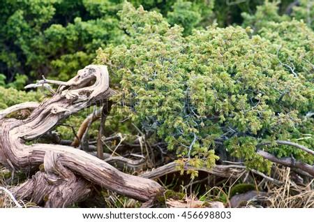 Juniperus communis - evergreen juniper tree, green branch - stock photo