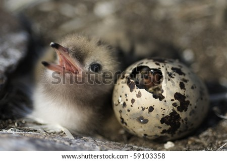 Just hatching baby bird Common Tern. Russia.Ladoga Lake. - stock photo