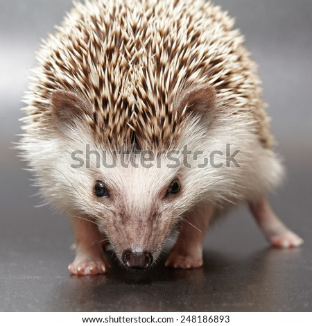 Just poor little hedgehog on dark background - stock photo