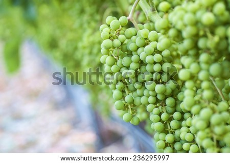 Just starting to grow, new wine grapes - stock photo