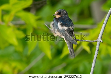 Juvenal Barn Swallow perched on a pranch. - stock photo