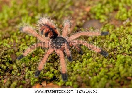 Pink Toe Tarantula Web Velvet Pink Toe Tarantula