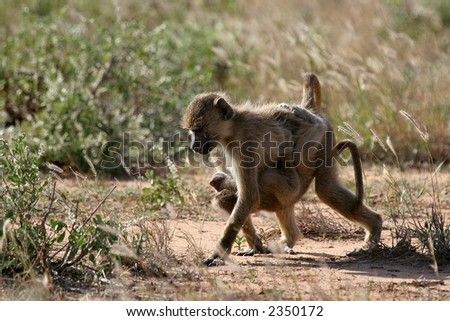 Juvenile baboon taking care of its younger sibling - stock photo