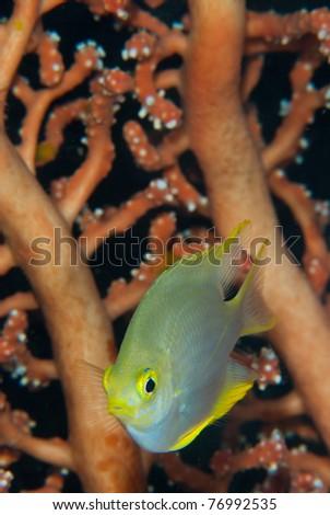 Juvenile Banda cardinalfish (Apogonidae), Indonesia - stock photo