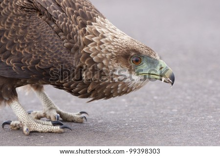 Juvenile Bateleur Eagle (Terathopius ecaudatus), on road, South Africa - stock photo