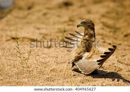 Juvenile Bateleur sunning himself  - stock photo