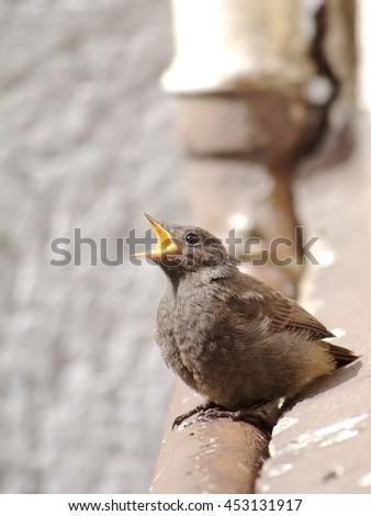 Juvenile Black Redstart Crying for Food - stock photo