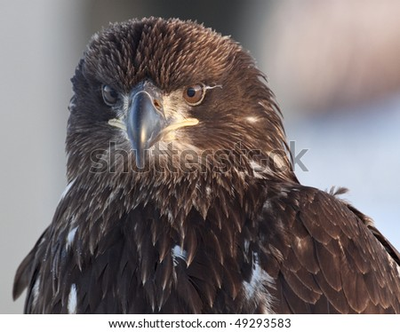 Juvenile eagle, frontal shot - stock photo