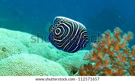 Juvenile Emperor Angel fish in the Red Sea - stock photo