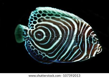 Juvenile Emperor Angel fish(Pomacanthus imperator)  isolated on Black background - stock photo