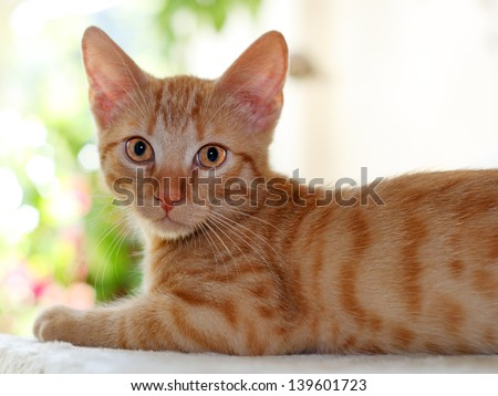 juvenile European Shorthair Cat - stock photo