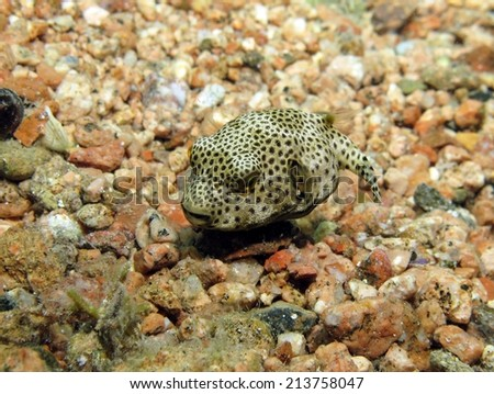Juvenile giant pufferfish on sand stock photo for Puffer fish sand art