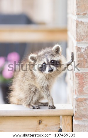 Juvenile ginger-haired raccoon eating seed from garden bird feeder - stock photo