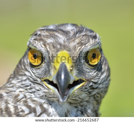Juvenile goshawk - stock photo